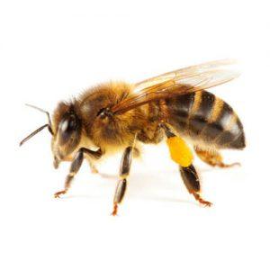 abeille-domestique