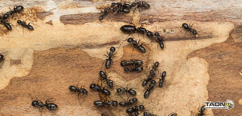 fourmis charpentière